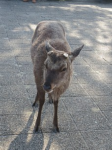 2017-01-21 11.03.51 IMG_9070 Anne - Miyajima Sika deer.jpeg: 3456x4608, 9893k (2017 Jan 26 05:36)